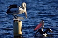 This is my spot (Luke6876) Tags: australianpelican pelican bird animal wildlife australianwildlife water