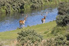 Damherten , Fallow Deers (Thijs de Bruin) Tags: fallowdeer amsterdam netherlands nederland damherten awd
