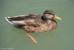 090813 Port Dalhousie-01.jpg (Bruce Batten) Tags: locations wild trips occasions subjects birds canada vertebrates businessresearchtrips animals stcatharines ontario ca