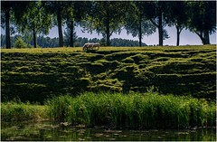 Sheep on the old ramparts (Eric@focus) Tags: sheep damme flanders rampart belgium trees 1000v40f