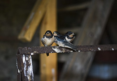 (Julia Hadji-Stylianou) Tags: photography wildlife wildbirds migratorybirds barnswallows