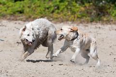 AP1608-0559 Zwemmen en Spelen (Jan-Willem Adams) Tags: adamsphotography buddy dog erkemederstrand fordjw gelderland honden janwillemadams nederland netherlands
