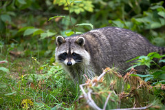 Raccoon, Itasca State Park (vambo25) Tags: minnesota itasca lakeitasca itascastatepark