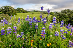 Oaks & Lupines, Monterey County (Rod Heywood) Tags: montereycounty salinas toropark lupines lupine oaks trees oaktrees hills hillsides green greenhills clouds grass flowers purple lavender highway68