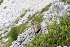 Alpine marmot! (lollo255) Tags: marmots marmotte mountains dolomites montagna marmotta 2016 dolomiti valparola alpine alps alpi animal