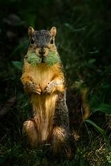Winter Prep (Portraying Life) Tags: michigan unitedstates handheld squirrel closecrop nativelighting animal
