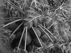 papaya/lechosa/carica (danmarinc) Tags: fruta monocromo tropico tropic fruit bw summer verano