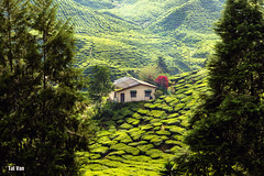 Small house at the green valley (Black Baron93) Tags: landscape tea teafield teaplantation malaysia cameronhighlands landscapephotography green small smallhouse agriculture 2016 tripof2016