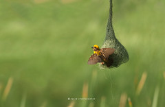 Baya Weaver (T@hir'S Photography) Tags: weaver nature outdoor trvael travel bird animals animalsinthewild animalsandpets animalwing wings span green nest wildlife baya beeeater tiny brown philippinus wildernessarea yellow naturestock grass maskedweaverbird asia freelancer forest nationallandmark tropicalbird branch perching migrating material photography highqualityphotography weavernest leaf detailedphotography cheapphot birdwatching animalnest beautyinnature woven nopeople beak wallpapers tropicalclimate loneliness birdsimagestock weaverbird environment ploceusphilippinus environmentalist animal multicolored