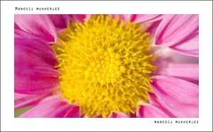 DSC_5337 (Manosij Mukherjee) Tags: flowers macro nikon westbengal flowerphotograph manosijmukherjee manosijmukherjeephotography