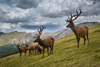 Seven Elk, part 2
