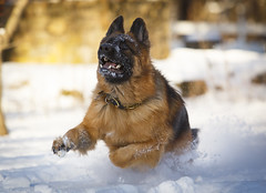 CL8A7285 (kdc123) Tags: winter dog cold zeiss jump action nj catch frisbee germanshepherd fetch gsd wintwe