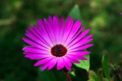 372 - Dorotheanthus  [Explored - Feb 18, 2013 #92] (ArvinderSP) Tags: flower nature closeup spring nikon explore iceplant 2013 arvinder dorotheanthusbellidiformis nikon28105f3545d d3100 arvindersp arvinderspcom