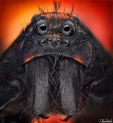 The Dark Side of The Force - Lycosa (Fardels.) Tags: portrait spider wolf retrato stack lobo araa stacked lycosa digitalcameraclub specanimal apilado fardels macrolife 100commentgroup