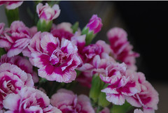 3 (theaxx) Tags: pink flowers white flower green blossoms magenta fresh ombre bunch carnation blooms carnations