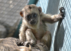 Such A Sweet Face! (Dan Dan The Binary Man) Tags: park baby monkey washingtondc smithsonian dc washington districtofcolumbia district columbia wdc national nz dcist nationalzoo inside fonz howler zoological dczoo blackhowler blackhowlermonkey enclousure smithsoniannationalzoologicalpark snzp friendsofthenationalzoo natzoo smithsoniansnationalzoologicalpark