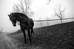 IMGP0302-stavrosstam (stavrosstam) Tags: bw horse fog rope artlibres ldlnoir