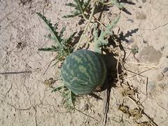 Citrullus colocynthis (John Steedman) Tags: fruit oman muscat  sultanateofoman    citrulluscolocynthis