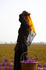 IMG_4435 (sapru) Tags: color colour farm farming kashmir jk cultivation saffron kang jammukashmir jammuandkashmir kesar zafran cashcrop kangposh