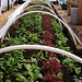 Spring has already sprung in my high tunnel. Greens planted in October are now ready for the table. Photo: Barb Heller, Canton, NY