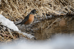 Robin on Ice_42910.jpg (Mully410 * Images) Tags: snow bird ice water robin birds birding cattails birdwatching americanrobin birder tcaap ahats burdr ardenhillsarmytrainingsite