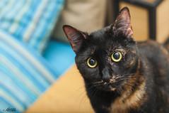 Myrtle (Samir Khadem) Tags: black detail look contrast cat 50mm eyes nikon dof looking flash kitty nikkor 18 potrait gatto ritratto potraits d5000