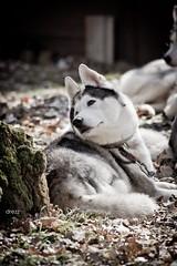 (Katarina Drezga) Tags: dog dogs husky sleddog dogphotography petphotography
