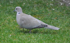 Collared Dove (swordscookie back and trying to catch up!) Tags: ireland grass garden feed swords collareddove