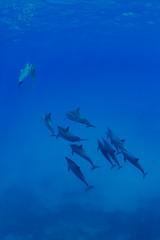 _DSC6451 (Shin-Okamoto) Tags: island hawaii big nikon dolphin whale mauna kea  manta kona d800