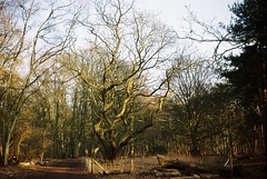 ot35 - sweet chestnut tree (johnnytakespictures) Tags: park old trees tree film nature natural sweet country olympus national 200 chestnut analogue coventry oldest solaris protected trip35 ferrania coombeabbey brinklow