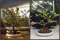 Pixie bougainvillea progression. 3 weeks. Left photo- before initial styling. (Cryptic Culture Gear/ Luminous Soul Designs) Tags: tree beautiful yellow bougainvillea pixie queen pot bonsai variegated progression