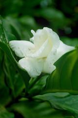 by mashael ahmed (Mashael Ahmed _  ) Tags: flower ahmed         mashael  mashaellogo mashaelahmad mashaelahmed
