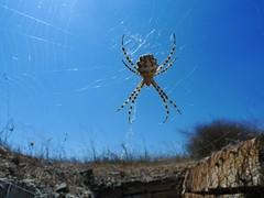 Spider and his web (Oren Rosenfeld (oreng)) Tags: world life travel animal spider war web trench rosenfeld golanheights oren oreng    c2014