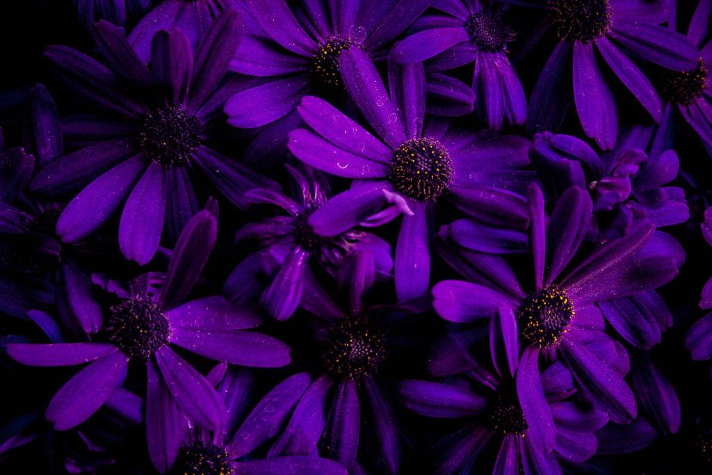 عکس گل ژرورا