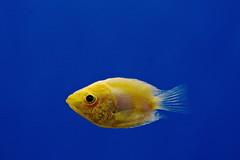 Aquatic   (Parisa Yazdanjoo) Tags: fish aquatic  fancyfish