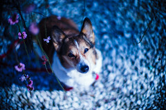 We Know How the Springtime Comes (moaan) Tags: leica dog 50mm march spring corgi dof blossom bokeh f10 utata noctilux welshcorgi ume m9 japaneseapricot umeblossom 2013 pochiko leicanoctilux50mmf10 leicam9 blossomviewer
