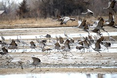 Sandhill cranes lift off [1035] (cl.lin) Tags: bird nature river nebraska wildlife birding flight sigma cranes migration platte kearney sandhill gibbon birdinflight d600 nikcon