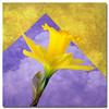 Daffodil Sky (njk1951) Tags: sky flower texture spring squareformat daffodil springflower yellowdaffodil springdaffodil daffodilsky tatot