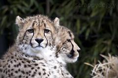 Cheetahs (scrappydoggy) Tags: cats cat canon zoo washingtondc dc washington critter nationalzoo cheetah 100400mm 100400 5dmarkii 5dii canon5dmarkii