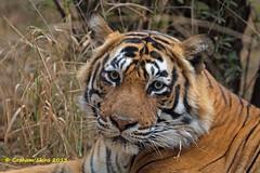 Tiger, Panthera tigris,  T24, male (Graham Ekins) Tags: india male mammal wildlife tiger rajasthan carnivore pantheratigris isaf sawaimadhopur t24 canon400mmf4 canon1dmkiv grahamekins ranthambhorereserve pugmarkslodge ah9k0320