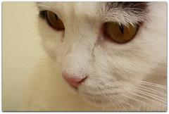 Eyes (sevgi_durmaz) Tags: cat eyes 1001nights pamuk 1001nightsmagiccity