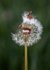 Separating here we go ... The circle of life. (UNTIL THEN...) Tags: white flower blow seeds dandelions wishing