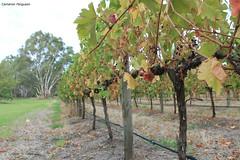 McLaren Flat Vineyard (CameronFerguson1) Tags: relax vineyard flat wine vale mclaren grapes