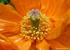 Californian Heart Revisited (Bob.W) Tags: californianpoppy coth5 sunrays5 flowerthequietbeauty