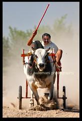 BULL CART RACE , JAHANIAN (TARIQ HAMEED SULEMANI) Tags: travel tourism colors closeup trekking canon culture tariq theunforgettablepictures concordians theperfectphotographer tariqhameedsulemani