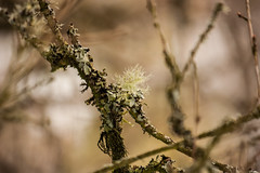 Lichen Limbs (rosejones1uk) Tags: trees bokeh branches fungus lichen