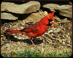 "theycallme "" Mr."" Cardinal! (MissyPenny) Tags: red bird nature birds cardinal pennsylvania wildlife northeast buckscounty cardinaliscardinalis bristolpennsylvania northeastbirds birdsinpennsylvania pdlaich missypenny"
