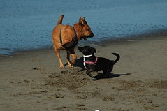Nov2010toMay2011random 372 (fnalfaro) Tags: ocean beach dogs playingdogs nov2010tomay2011random