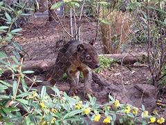 Logan the Fossa thinks his dinner is on the way (beachkat1) Tags: logan zooatlanta foosa uploaded:by=flickrmobile flickriosapp:filter=nofilter