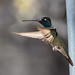 Chiracahua-Magnificent-hummer